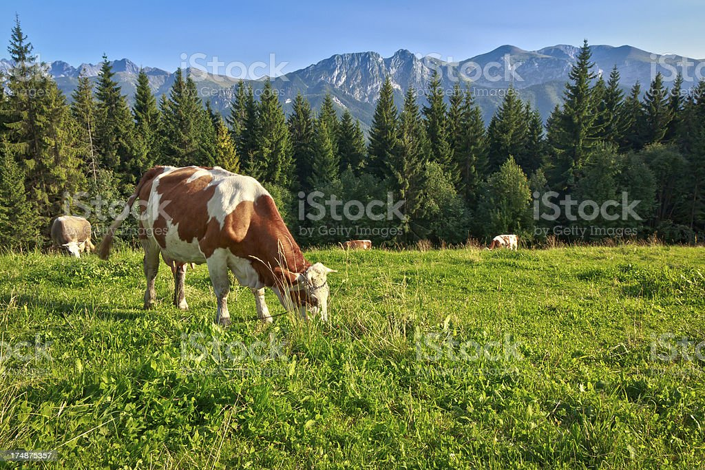 Cows in a mountain pasture royalty-free stock photo