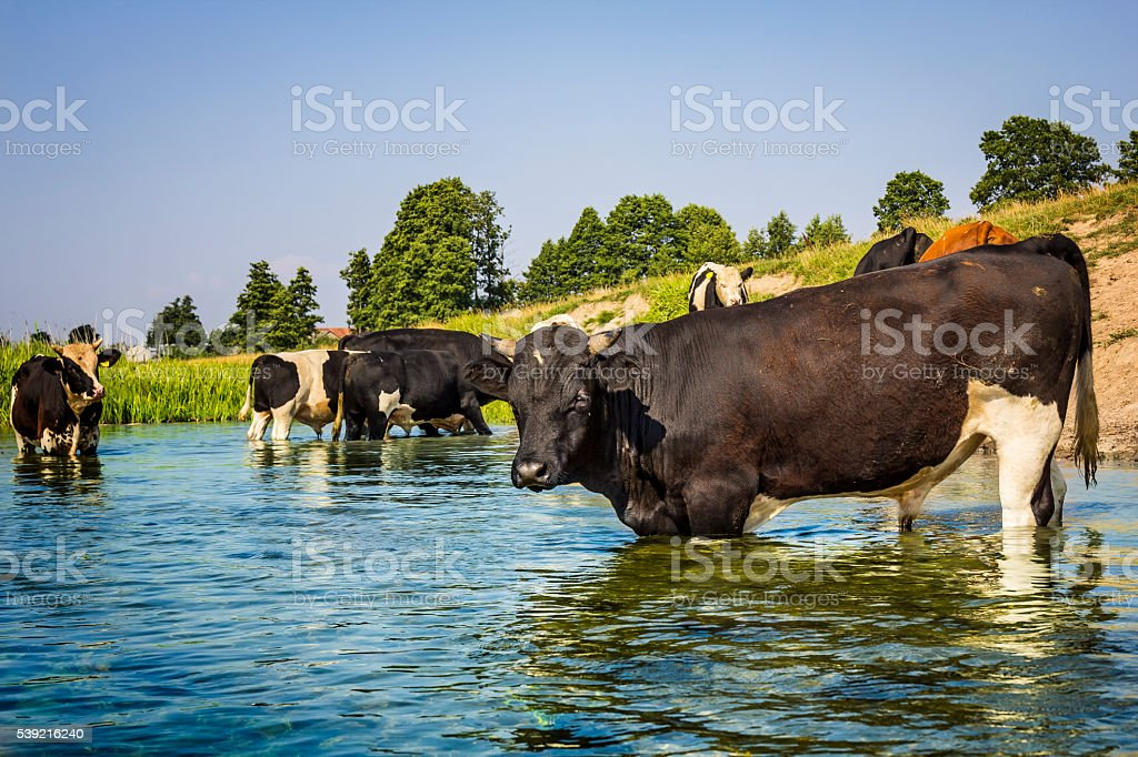 Cows in a pasture, Poland stock photo
