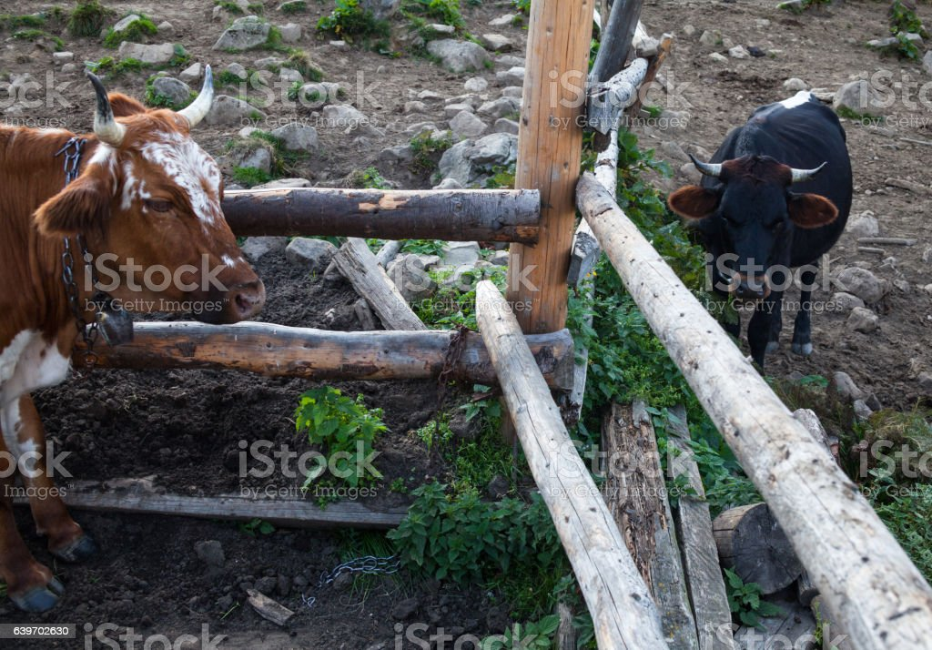 Cows in a pen stock photo
