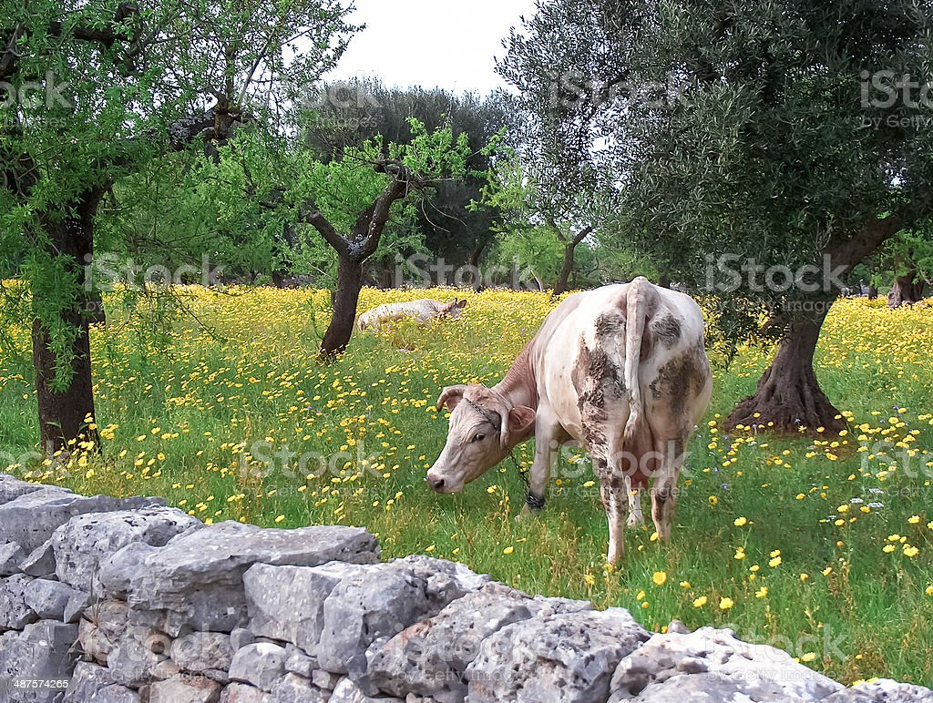 Cows in agricultural field with wild vegetation,in Puglia land. stock photo