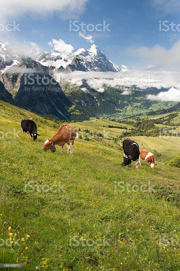Cows in Alps, Switzerland royalty-free stock photo