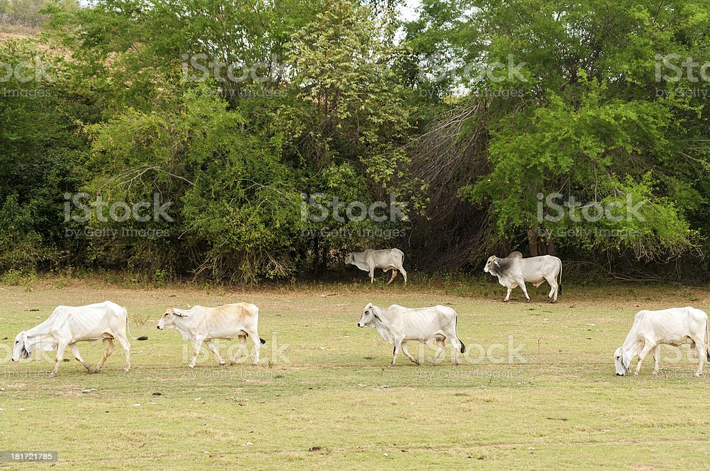 Cows in an Arid Field stock photo