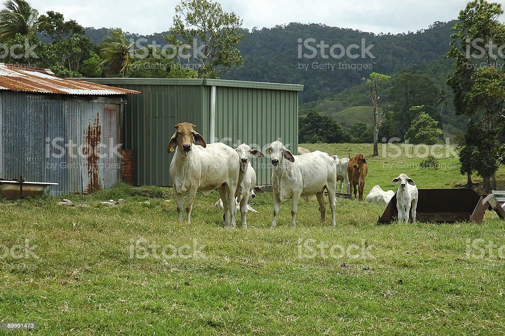 Cows in Australia royalty-free stock photo