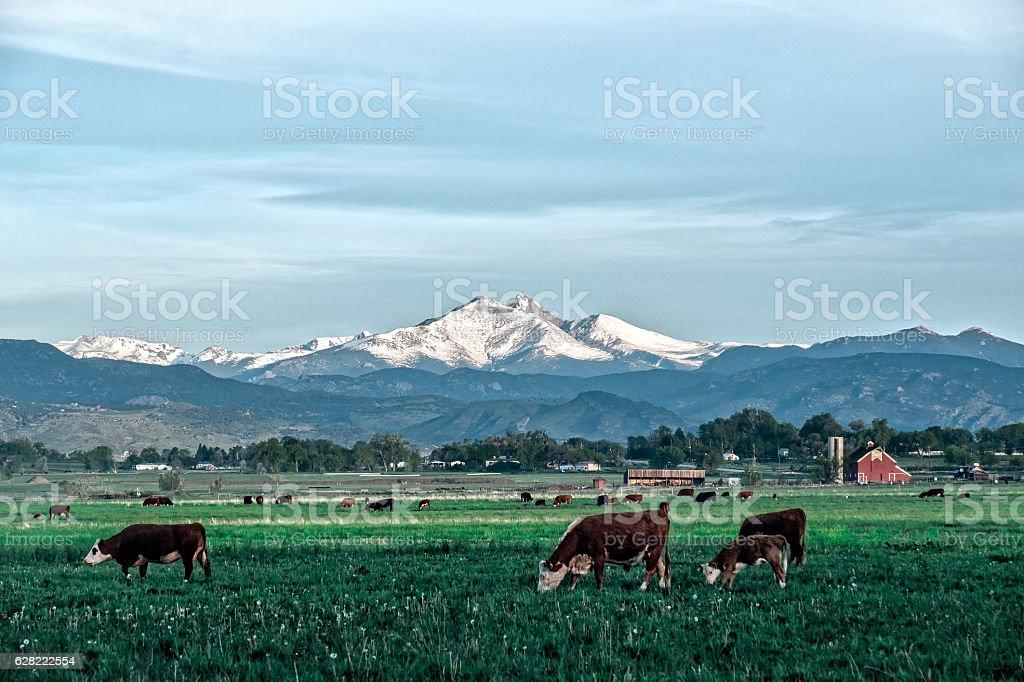 Cows in Colorado stock photo