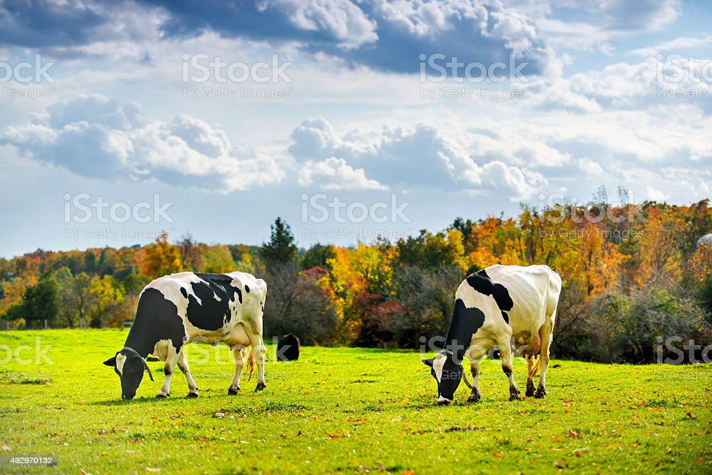 Cows in Colorful Autumn stock photo