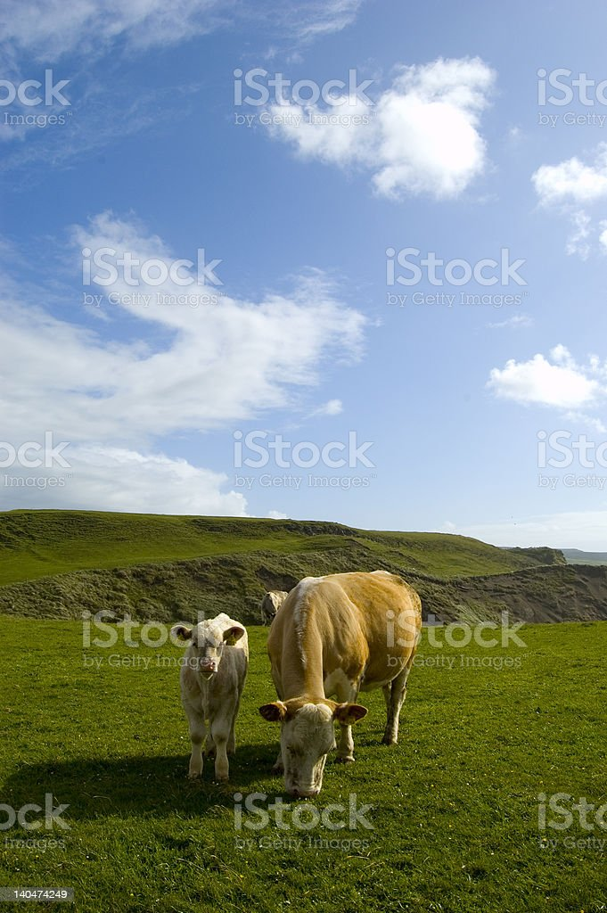 Cows in Doolin.Ireland royalty-free stock photo