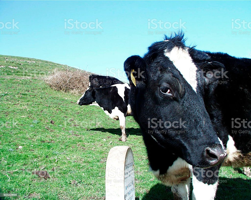 cows in dorset royalty-free stock photo
