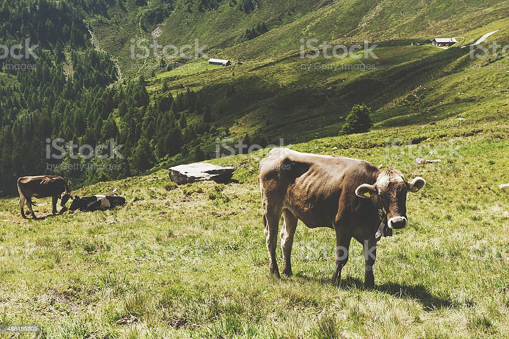 Cows in european alps royalty-free stock photo