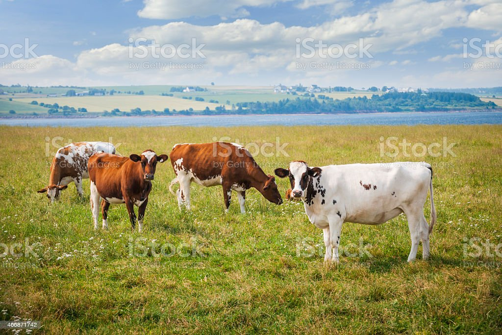 Cows in farm field stock photo
