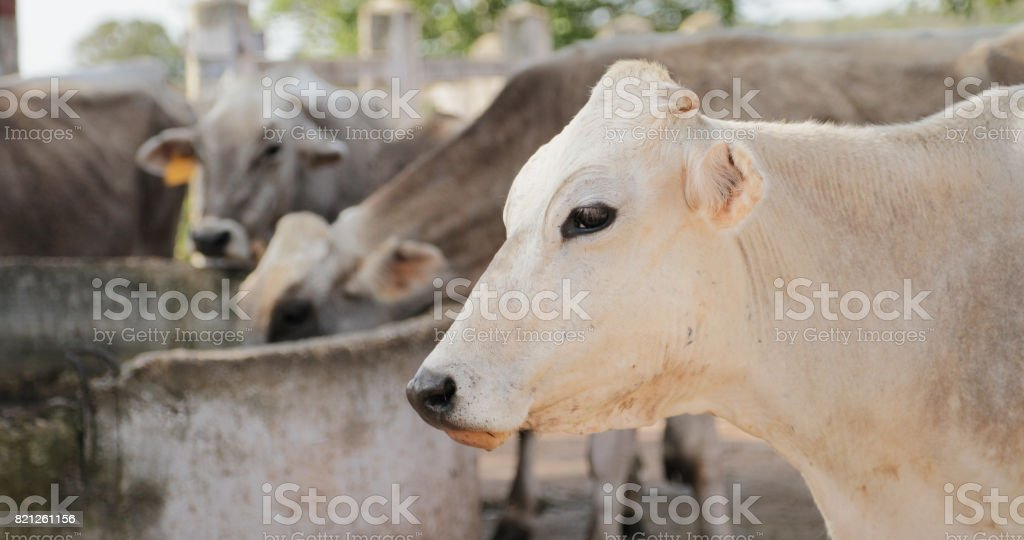 Cows In Farm Livestock In Ranch Country Life stock photo