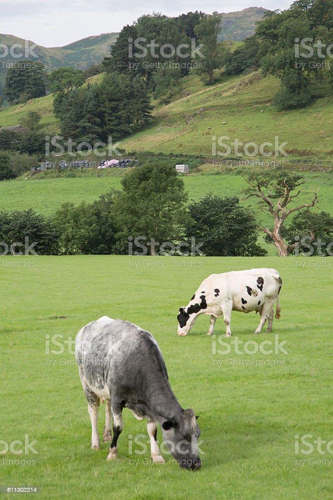 Cows in Field, Grasmere stock photo