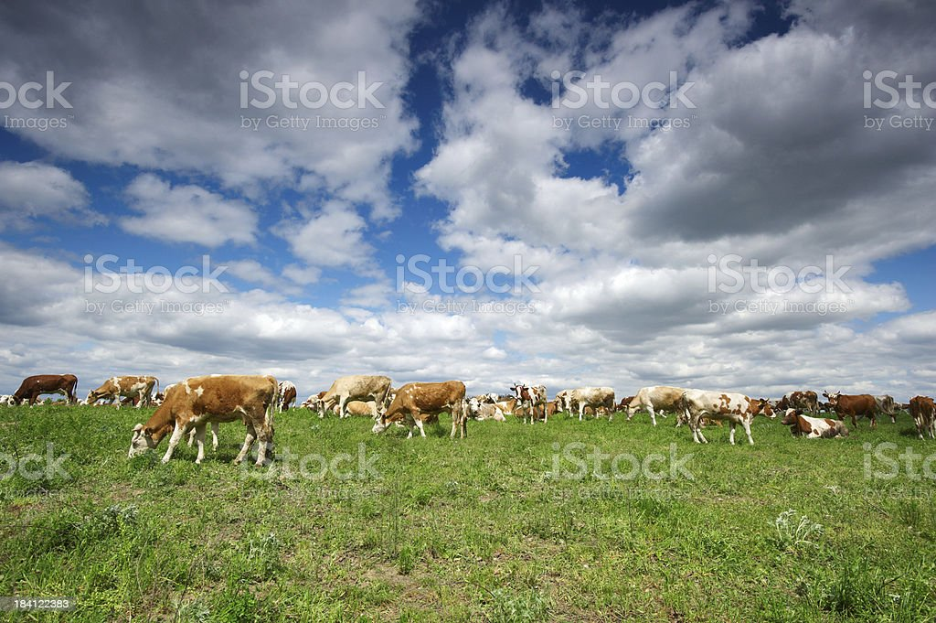 cows in field royalty-free stock photo