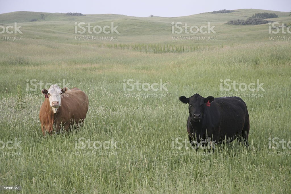 Cows in Grass (early morning) stock photo