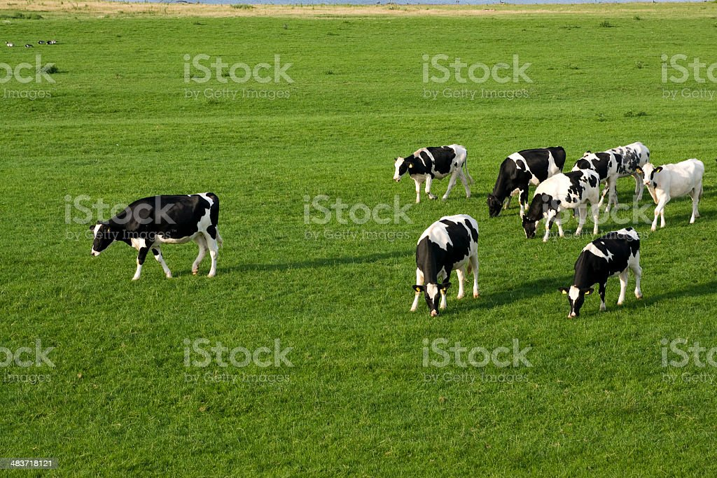 Cows in green meadow stock photo