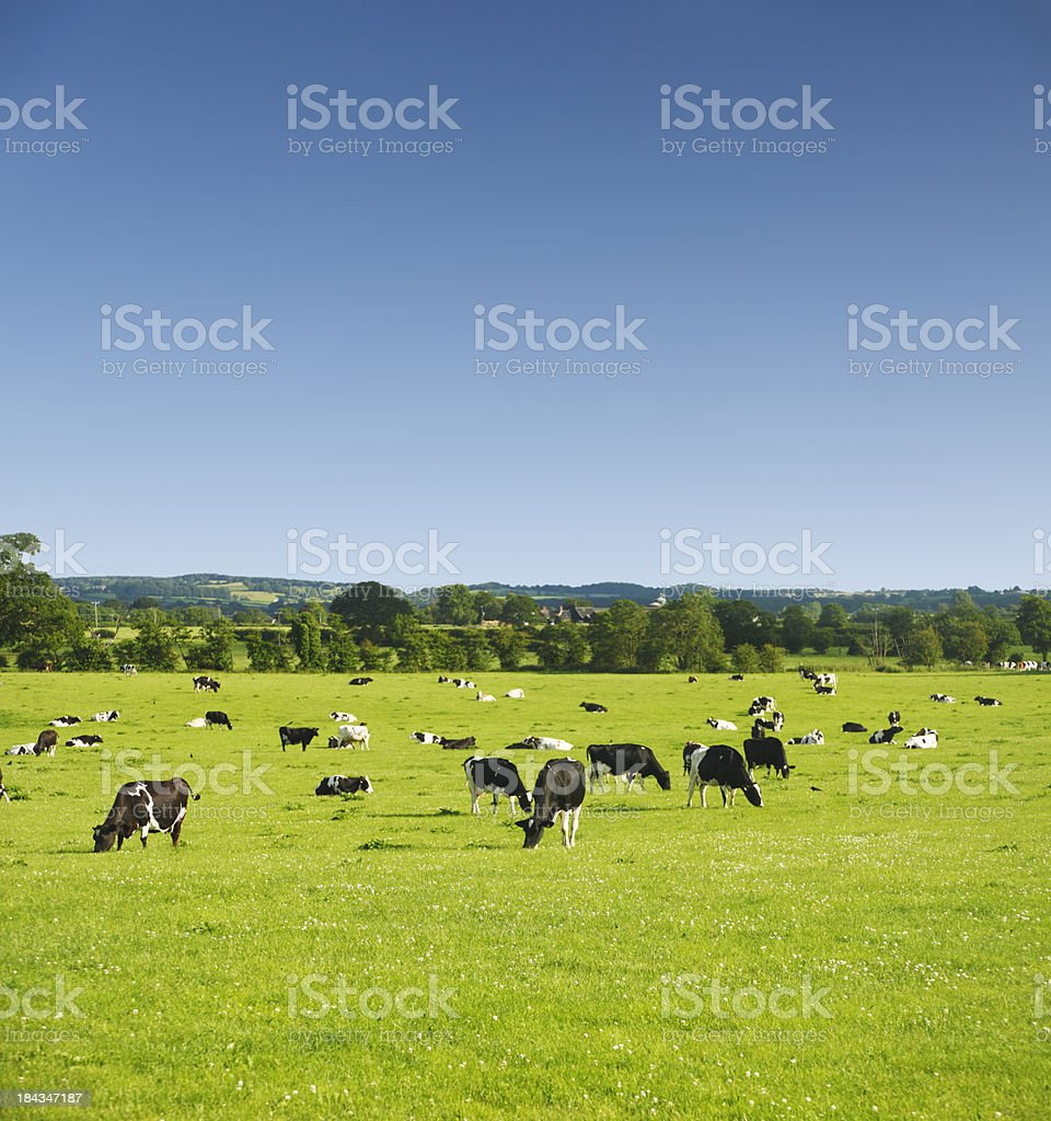 Cows in Idyllic Pastures royalty-free stock photo