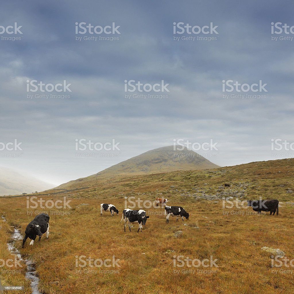 cows in Ireland royalty-free stock photo