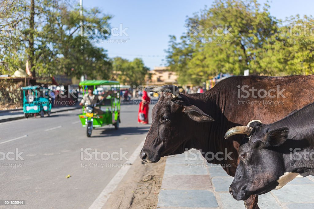 Cows in Jaipur, India stock photo