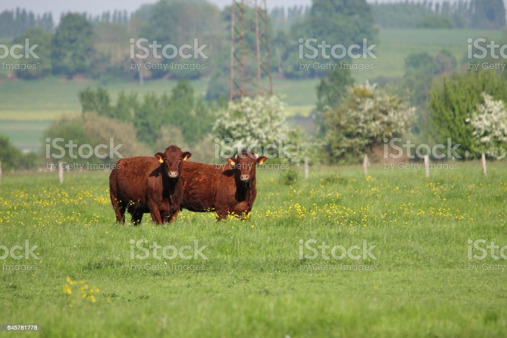 cows in meadow, france stock photo