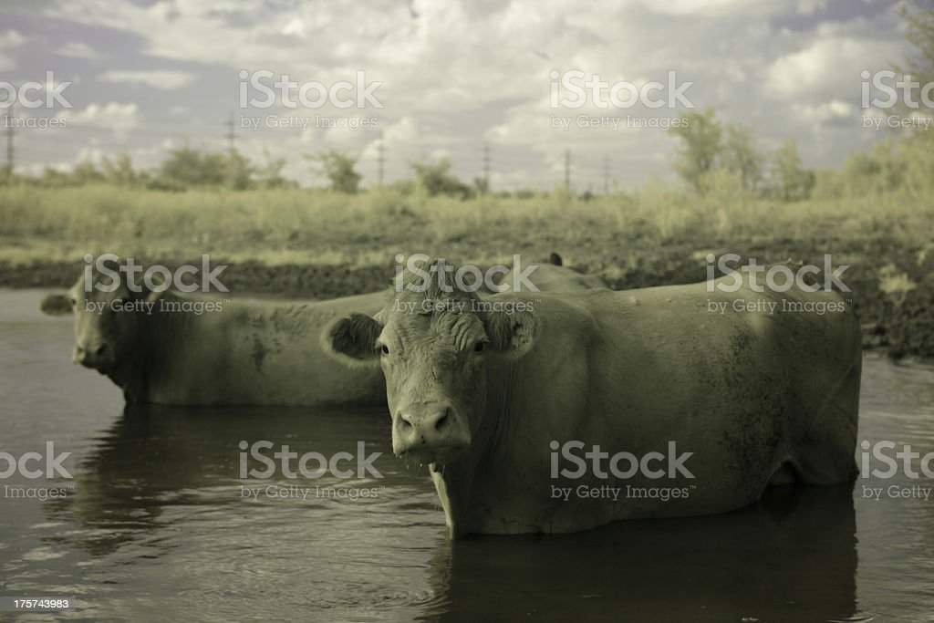 Cows in mud royalty-free stock photo