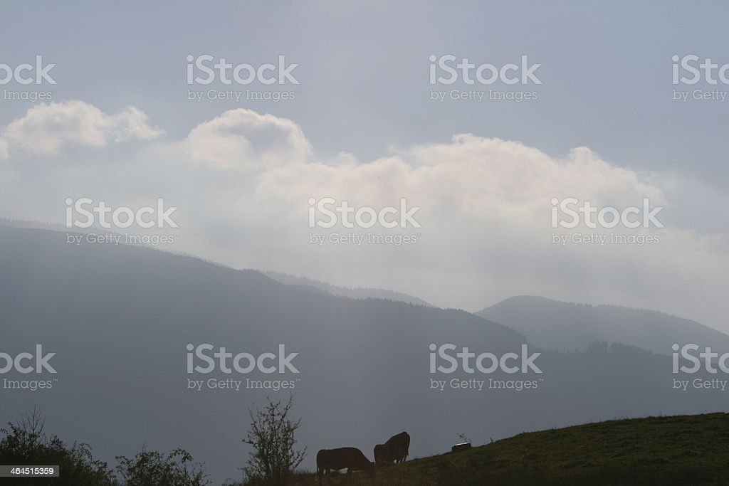 cows in Murnauer Moos stock photo