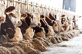 Cows in row
