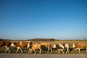 Cows in rural road in formation