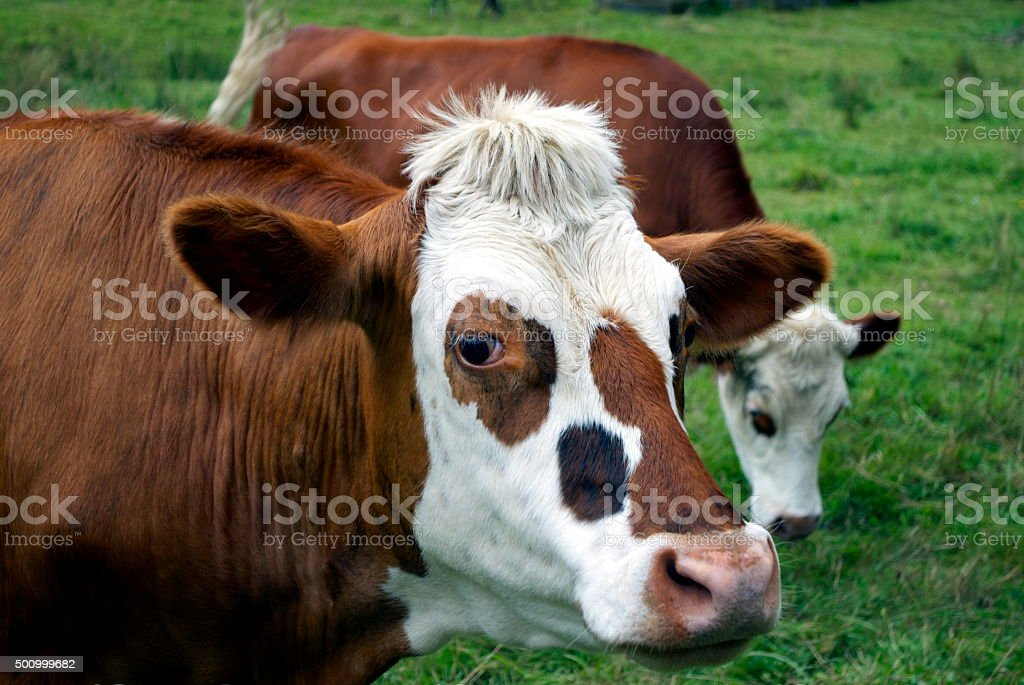 Cows in Rural Scene stock photo