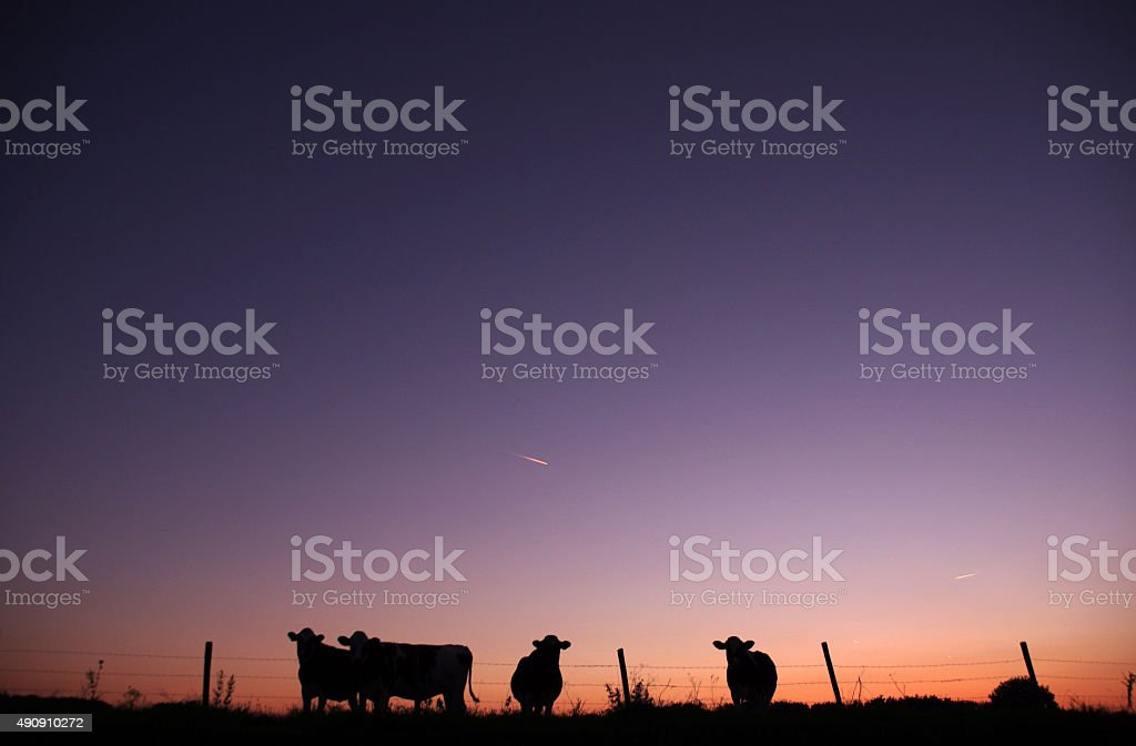 Cows in silhouette at sunset stock photo