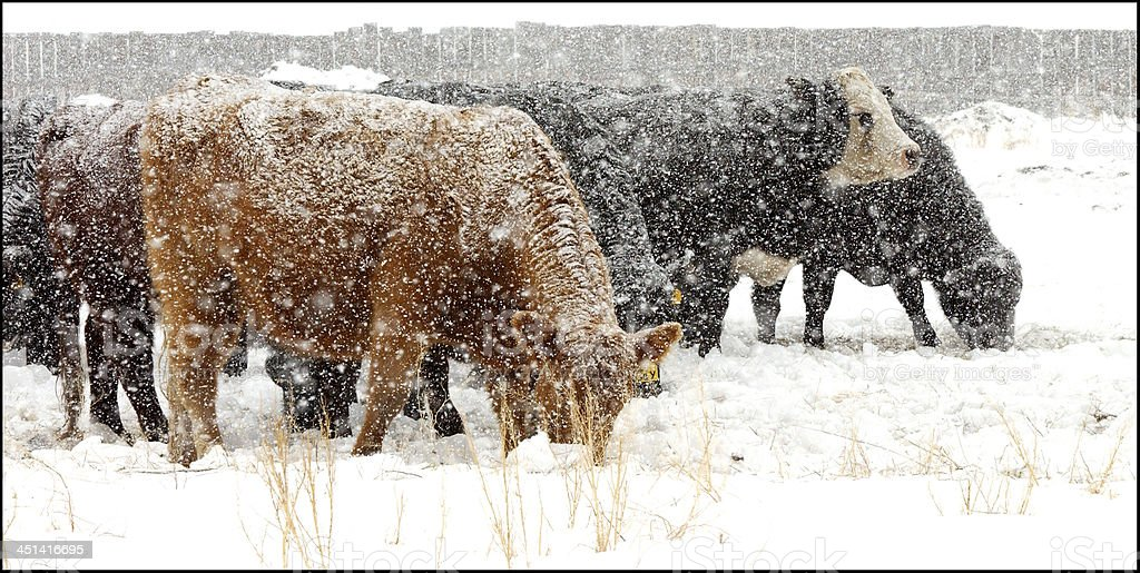 Cows in Snowstorm stock photo