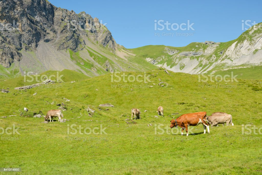 Cows in Swiss Alps near Melchsee Frutt stock photo