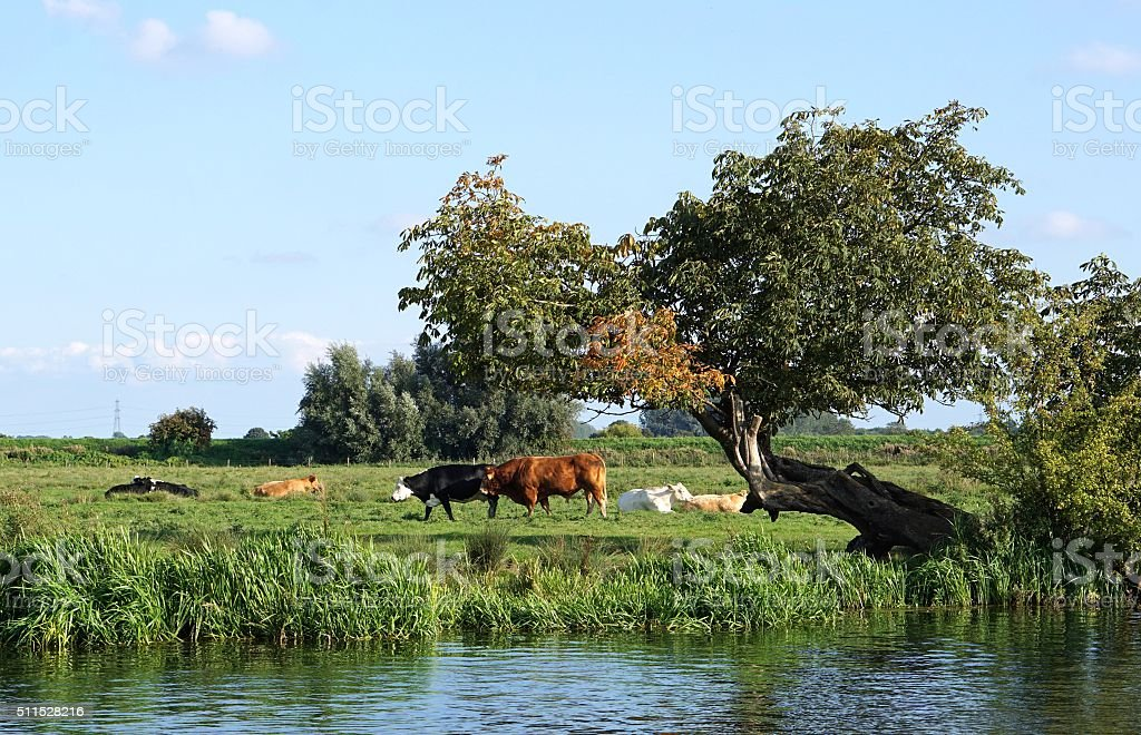 Cows In The Cambridgeshire Fens stock photo