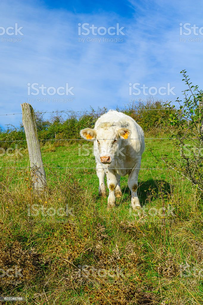 Cows in the countryside of Cote dOr, Burgundy stock photo