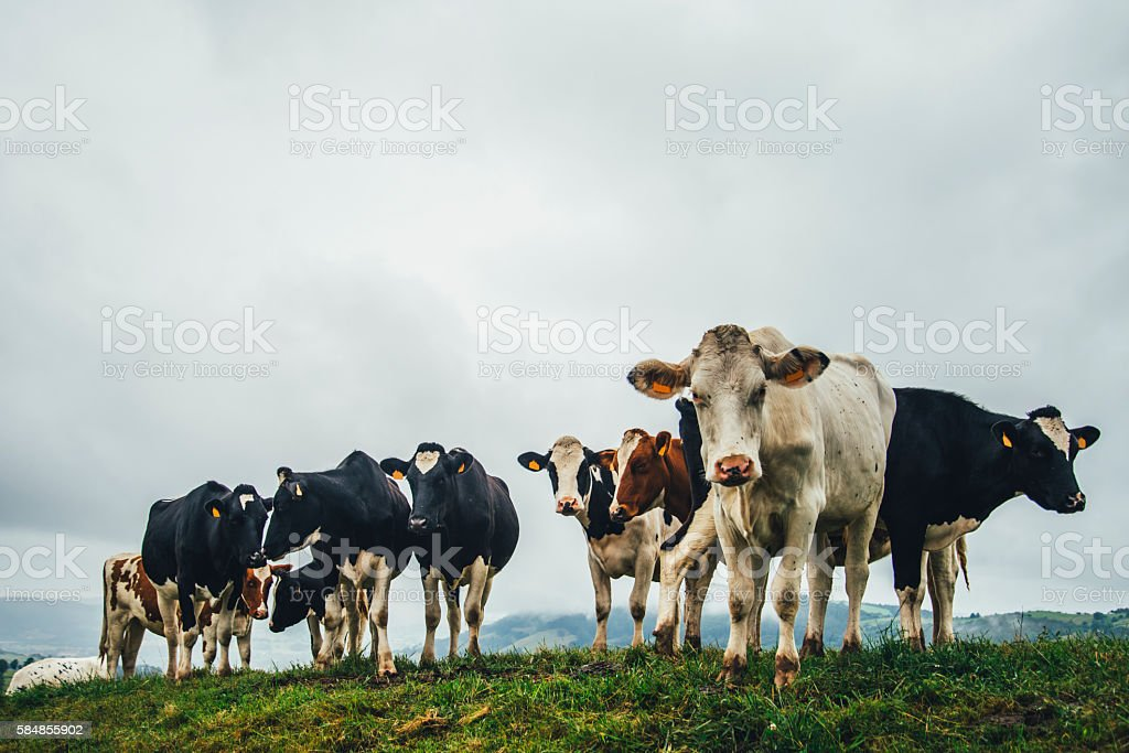 Cows in the countryside stock photo