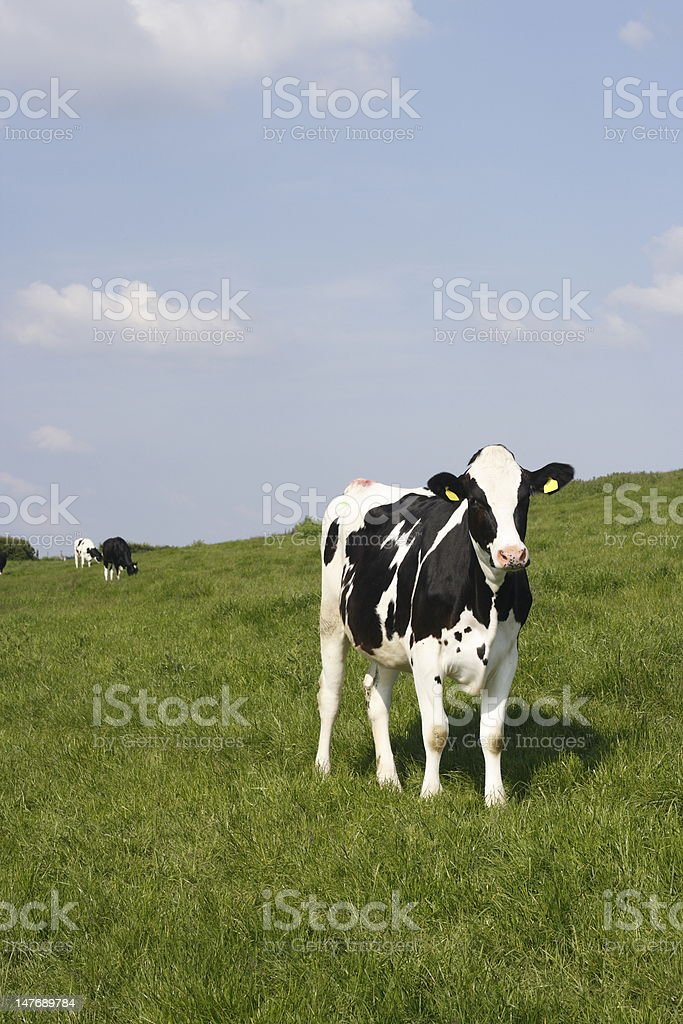 Cows in the evening sun. royalty-free stock photo