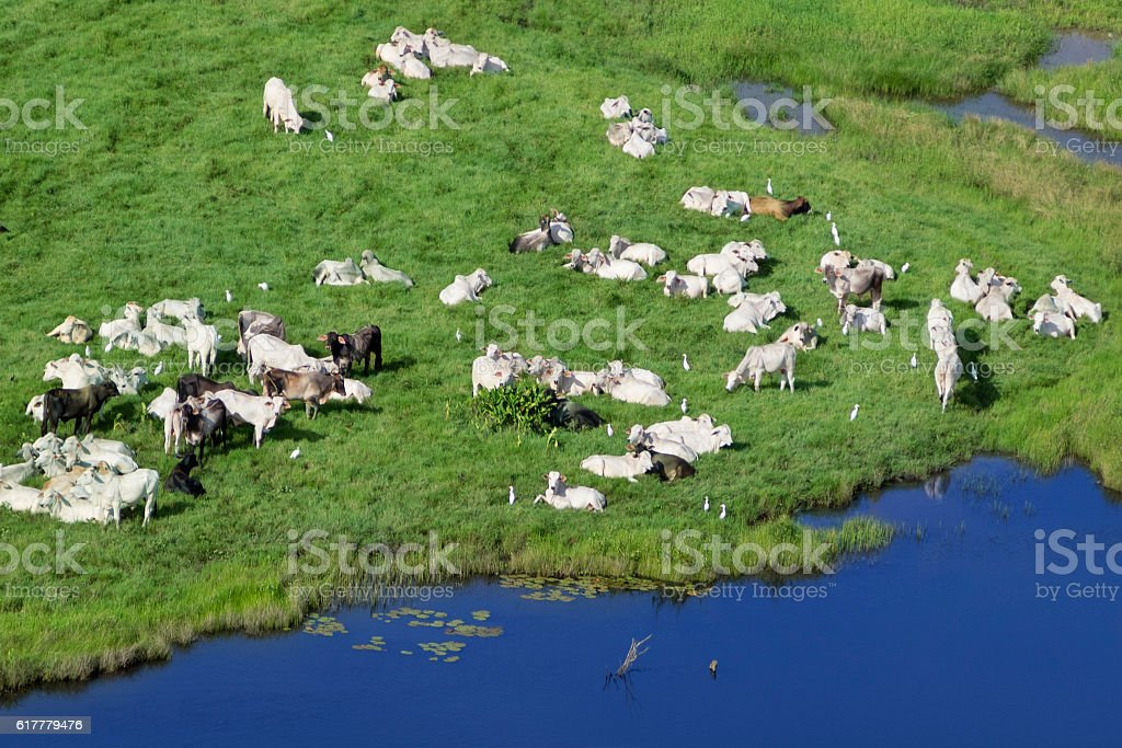 Cows in the field stock photo