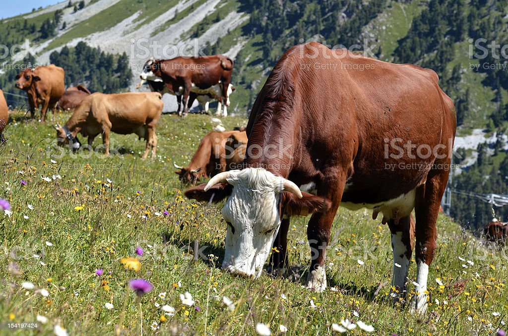 Cows in the French Alps stock photo
