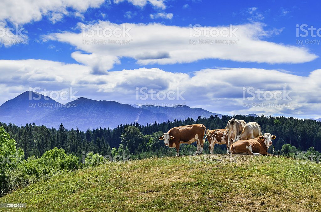 Cows in the Meadow stock photo