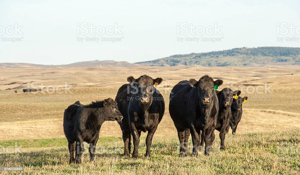 Cows in the Pasture stock photo