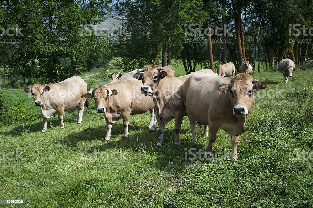 Cows in the Pyrenees royalty-free stock photo