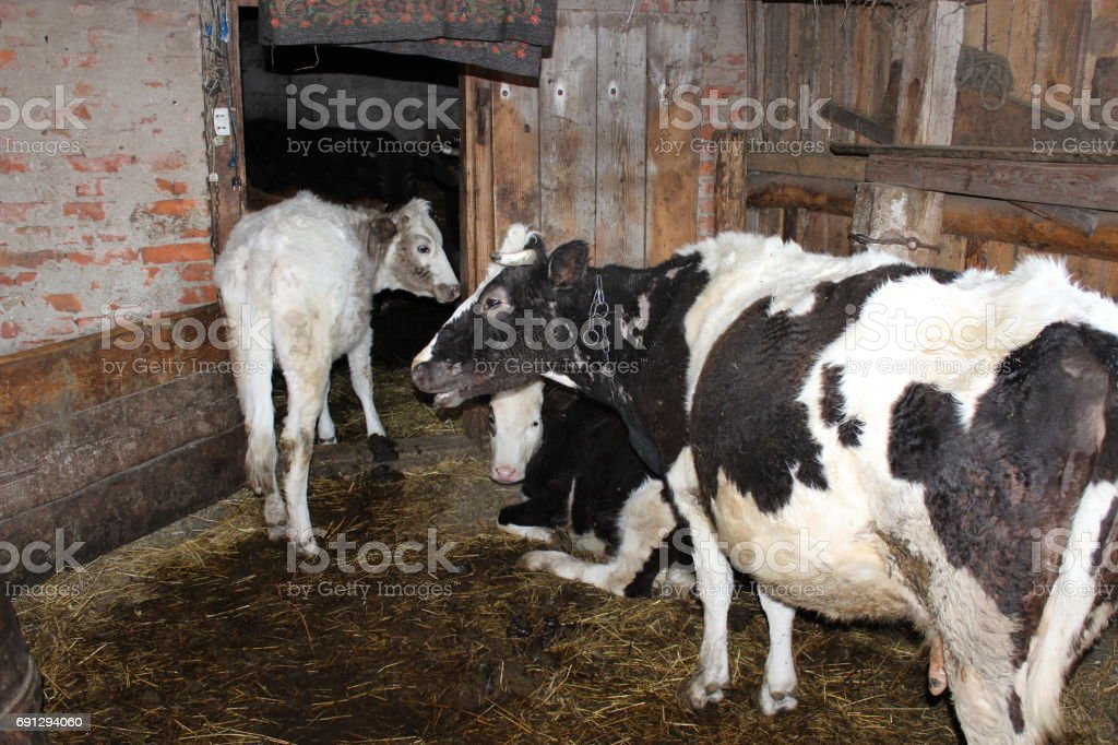 cows in the shed stock photo