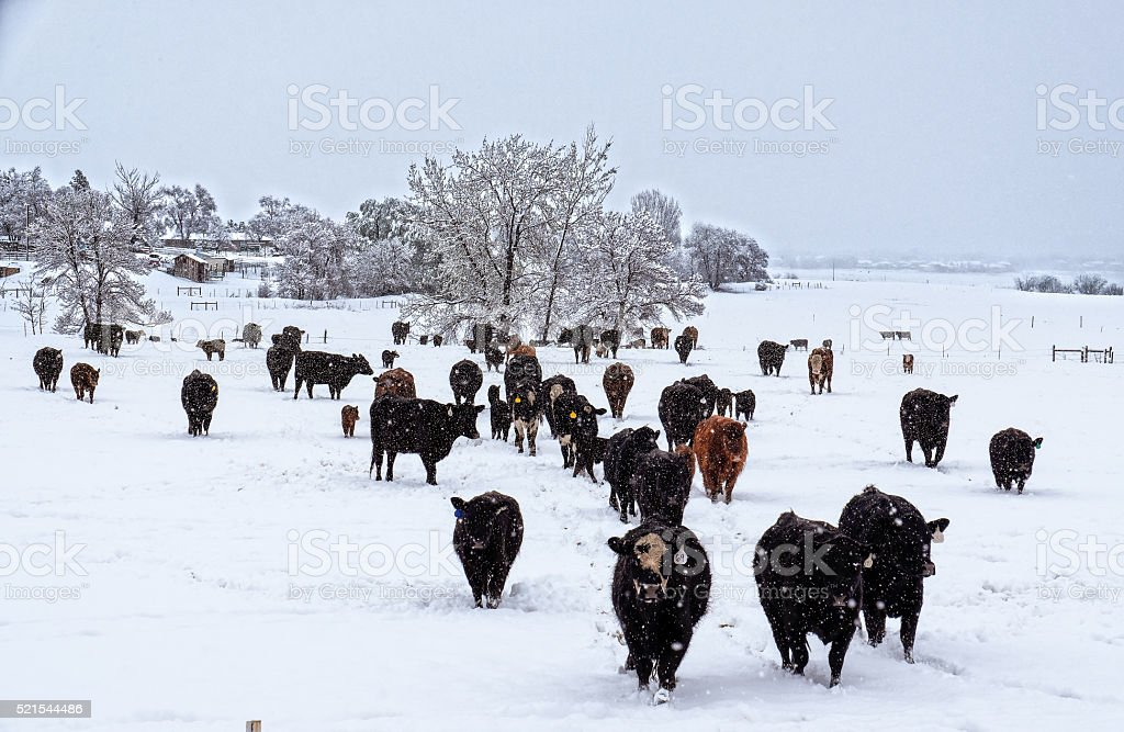 Cows in the Snow stock photo