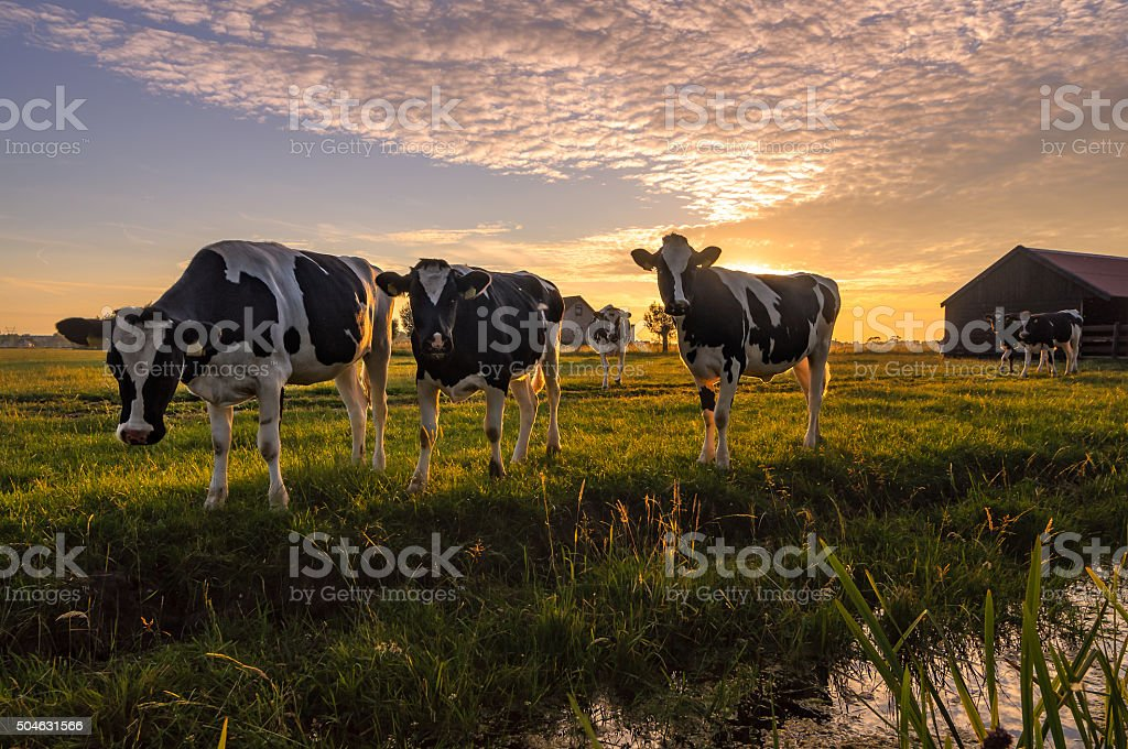 Cows in the summer evening stock photo