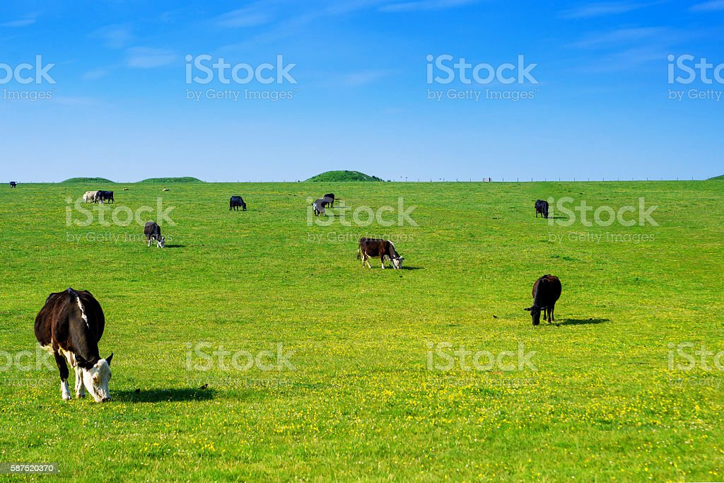Cows in the valley at Stonehenge in Wiltshire in UK stock photo