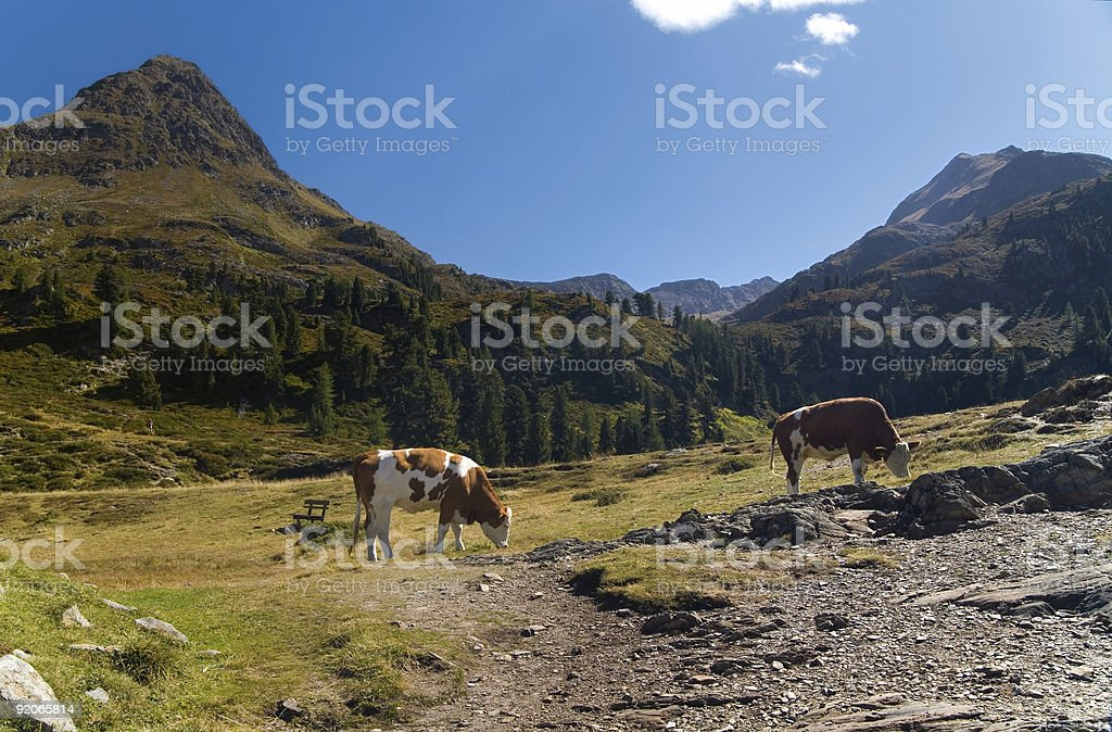 Cows In Tirol royalty-free stock photo