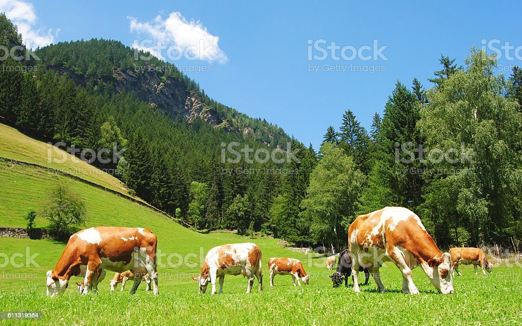 Cows in Tyrolean Alps. stock photo