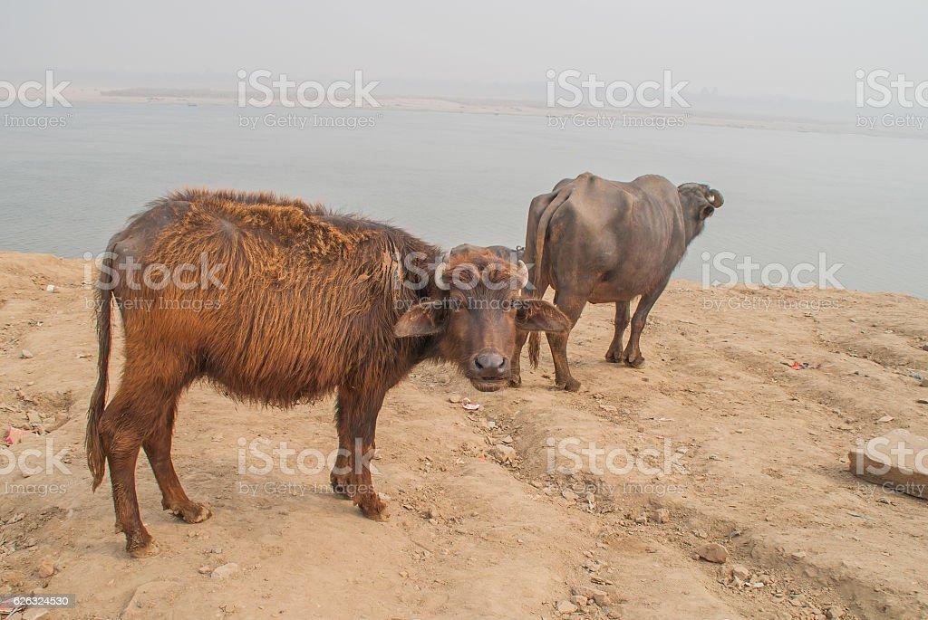 Cows  in Varanasi stock photo
