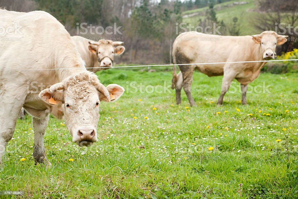 Cows looking at camera, green meadow. stock photo