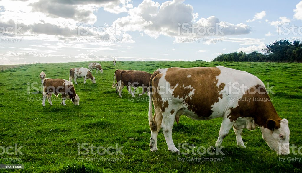 Cows looking like Golden Age painting stock photo