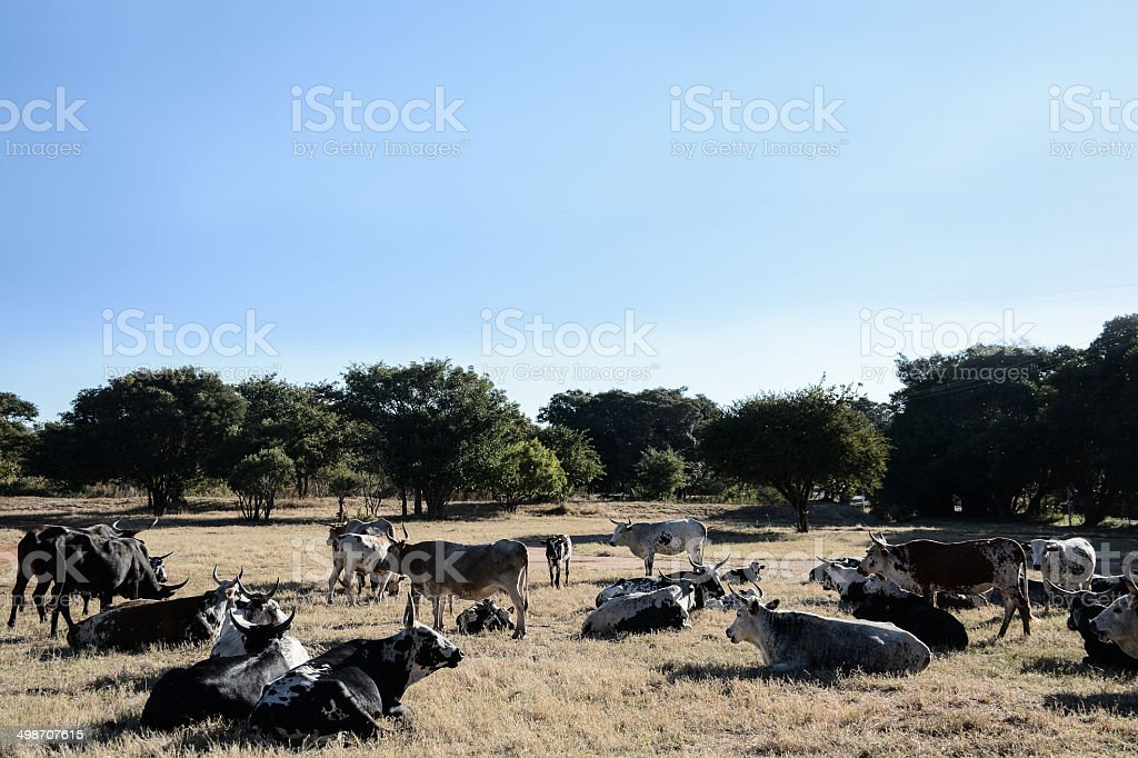 Cows lying in a field. stock photo