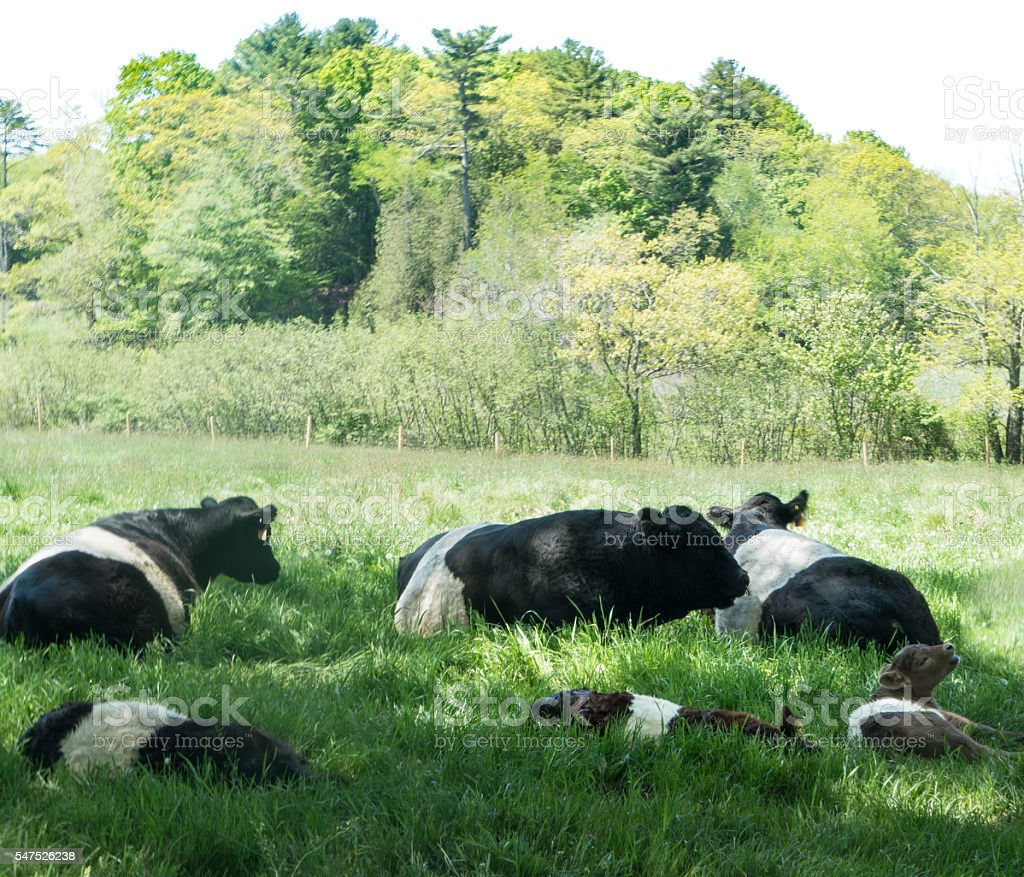 Cows Lying in Green Grass stock photo